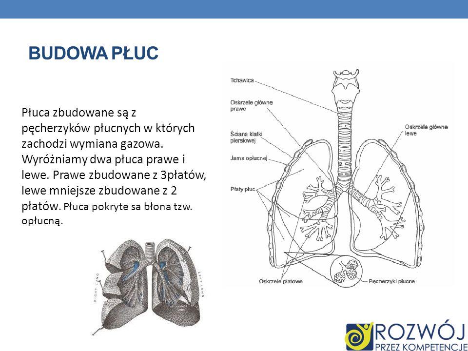 BUDOWA PŁUC Płuca zbudowane są z pęcherzyków płucnych w których zachodzi wymiana gazowa. Wyróżniamy dwa płuca prawe i lewe. Prawe zbudowane z 3płatów,