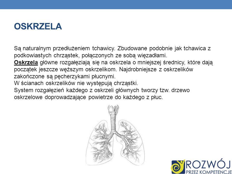 BUDOWA PŁUC Płuca zbudowane są z pęcherzyków płucnych w których zachodzi wymiana gazowa.