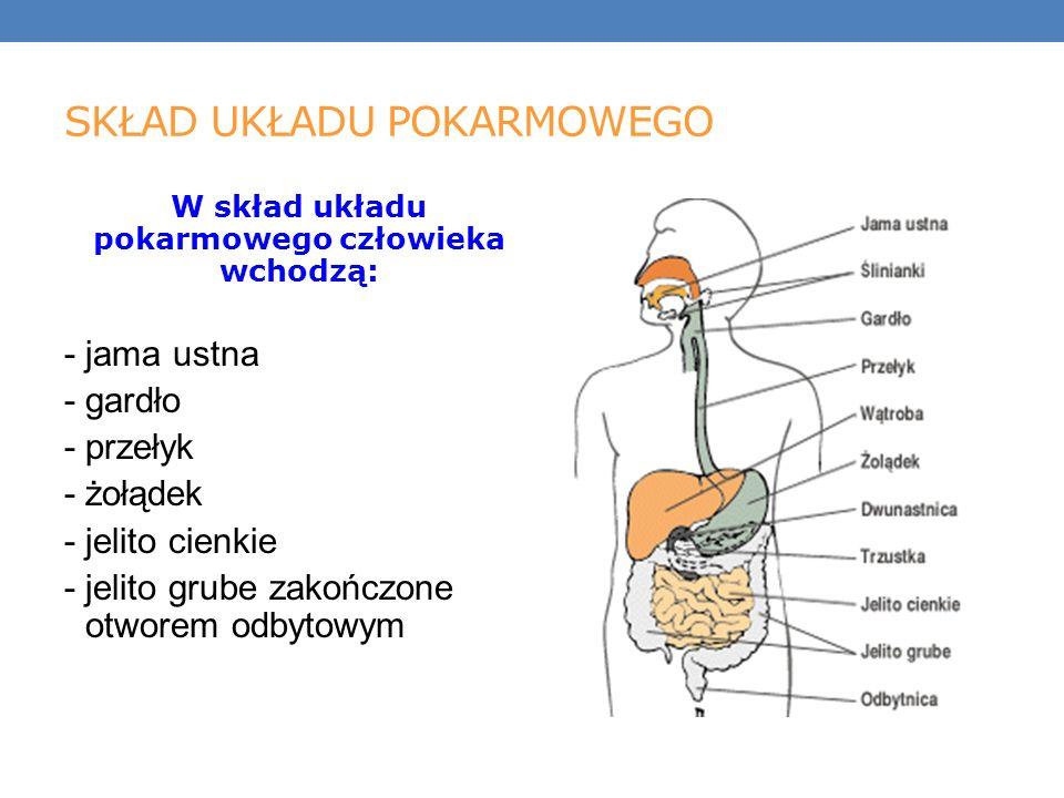 SKŁAD UKŁADU POKARMOWEGO W skład układu pokarmowego człowieka wchodzą: - jama ustna - gardło - przełyk - żołądek - jelito cienkie - jelito grube zakończone otworem odbytowym