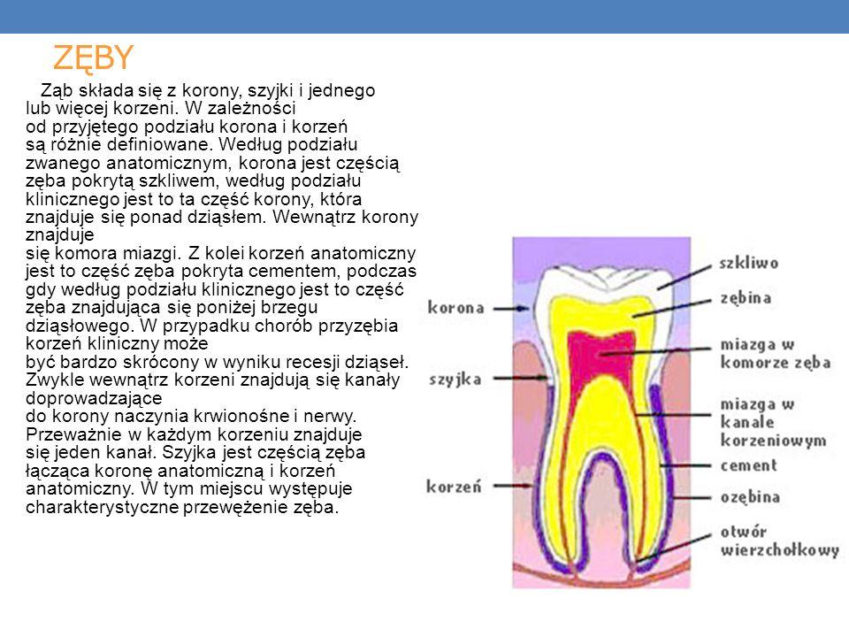 ZĘBY Ząb składa się z korony, szyjki i jednego lub więcej korzeni.