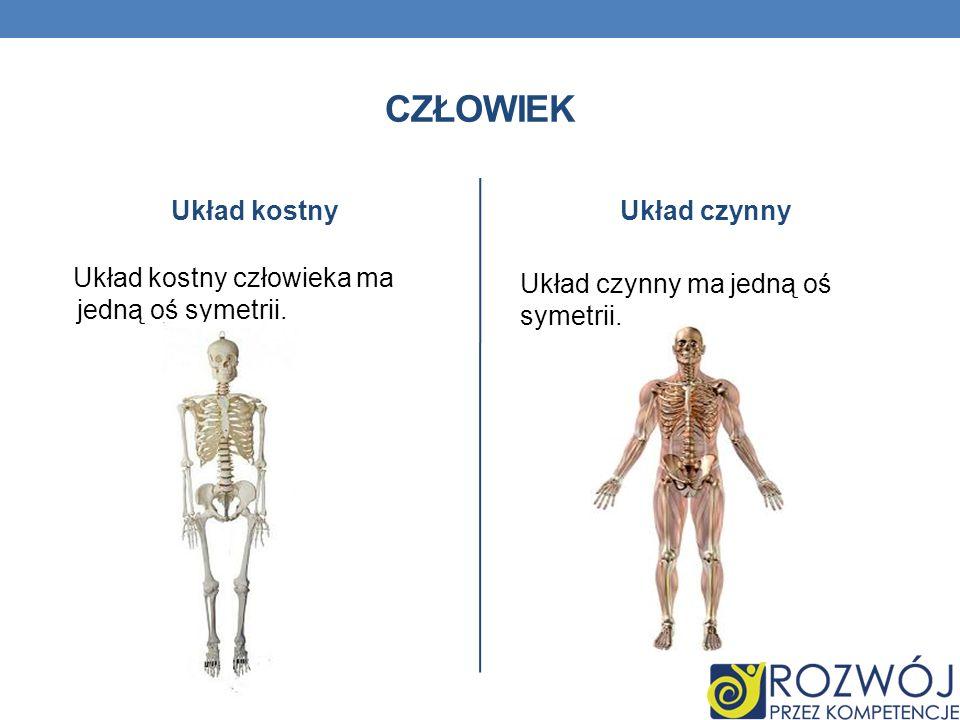 CZŁOWIEK Układ kostny Układ kostny człowieka ma jedną oś symetrii. Układ czynny Układ czynny ma jedną oś symetrii.