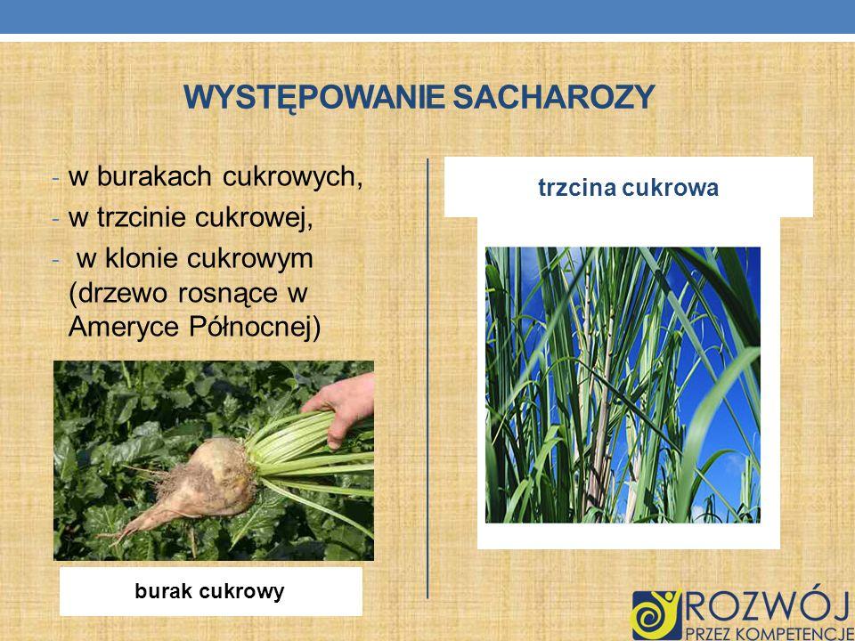 WYSTĘPOWANIE SACHAROZY - w burakach cukrowych, - w trzcinie cukrowej, - w klonie cukrowym (drzewo rosnące w Ameryce Północnej) trzcina cukrowa burak c