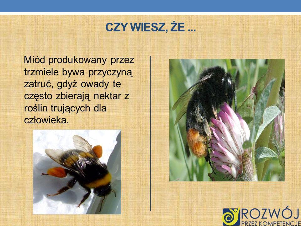 CZY WIESZ, ŻE... Miód produkowany przez trzmiele bywa przyczyną zatruć, gdyż owady te często zbierają nektar z roślin trujących dla człowieka.