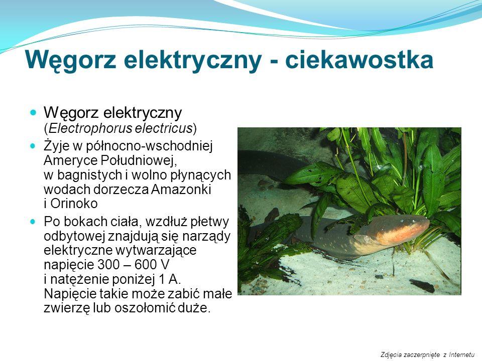 Węgorz elektryczny - ciekawostka Węgorz elektryczny (Electrophorus electricus) Żyje w północno-wschodniej Ameryce Południowej, w bagnistych i wolno pł