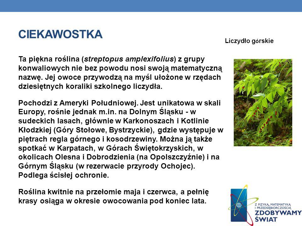 CIEKAWOSTKA Ta piękna roślina (streptopus amplexifolius) z grupy konwaliowych nie bez powodu nosi swoją matematyczną nazwę. Jej owoce przywodzą na myś