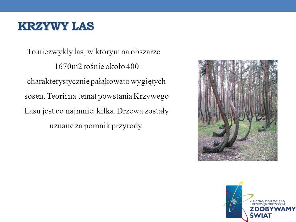 KRZYWY LAS To niezwykły las, w którym na obszarze 1670m2 rośnie około 400 charakterystycznie pałąkowato wygiętych sosen. Teorii na temat powstania Krz