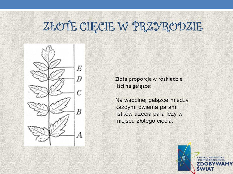 ZŁOTE CI Ę CIE W PRZYRODZIE Złota proporcja w rozkładzie liści na gałązce: Na wspólnej gałązce między każdymi dwiema parami listków trzecia para leży