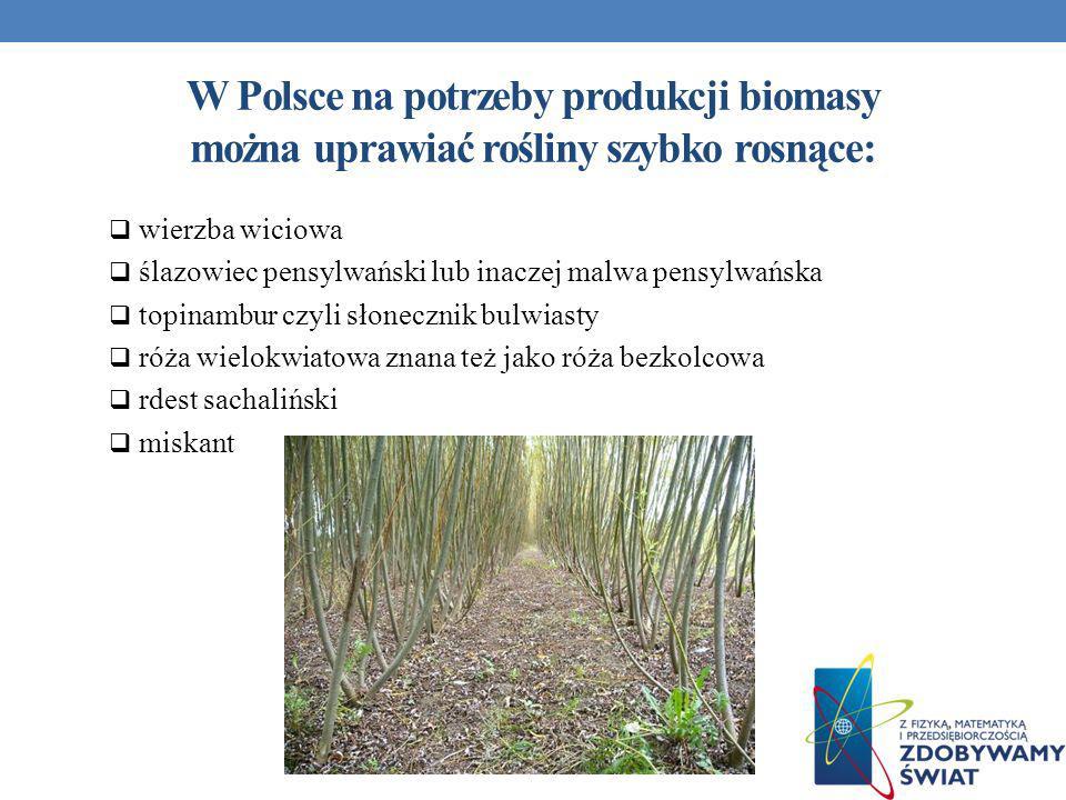 W Polsce na potrzeby produkcji biomasy można uprawiać rośliny szybko rosnące: wierzba wiciowa ślazowiec pensylwański lub inaczej malwa pensylwańska to