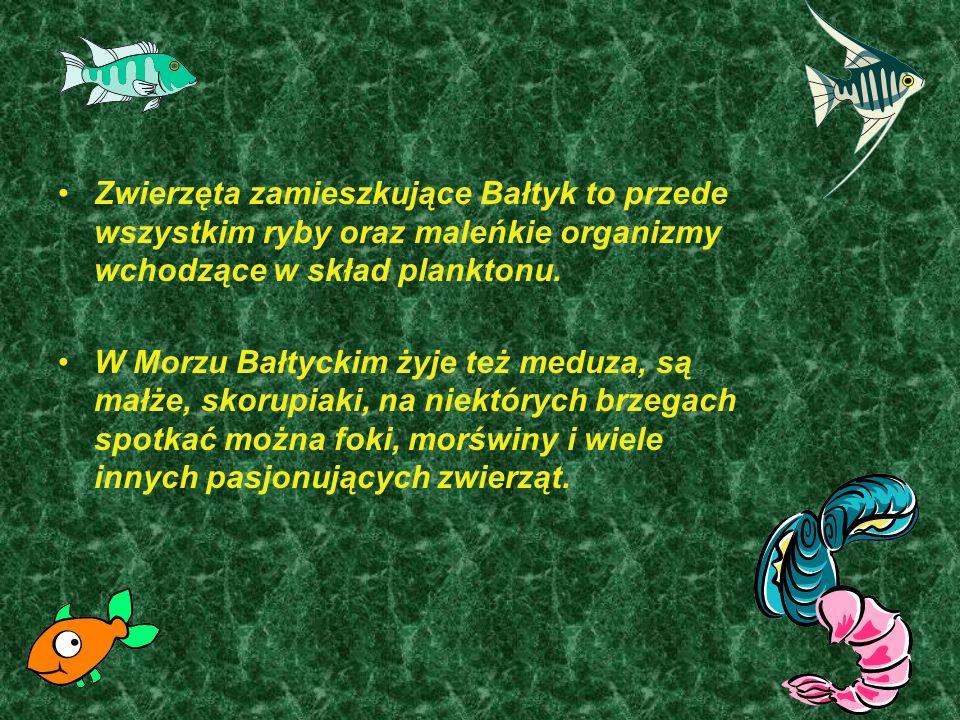 Zwierzęta zamieszkujące Bałtyk to przede wszystkim ryby oraz maleńkie organizmy wchodzące w skład planktonu. W Morzu Bałtyckim żyje też meduza, są mał