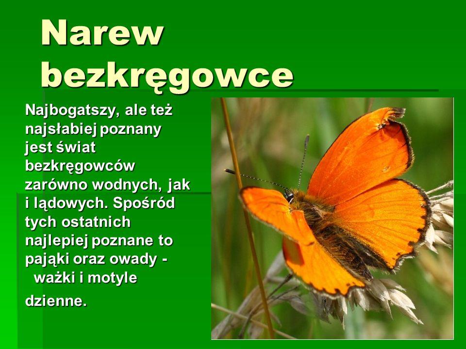 Nad Narwią występuje 150 gatunków pająków, z których 21 to gatunki rzadkie, znane tylko z pojedynczych stanowisk w Polsce.