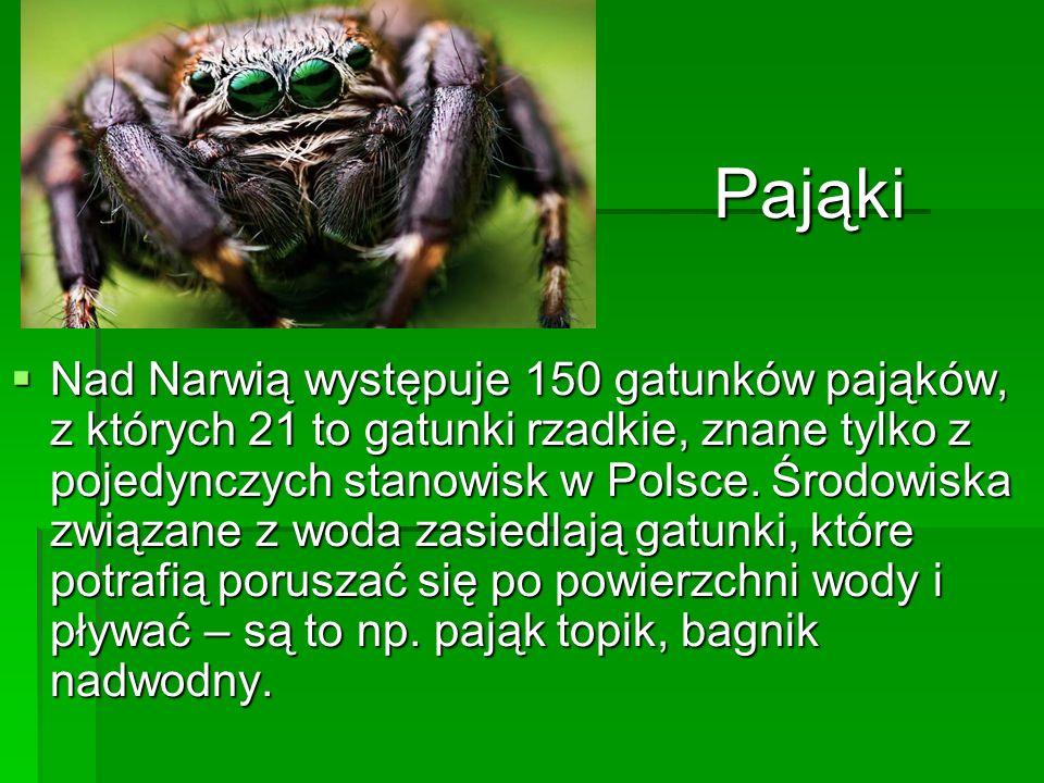 Nad Narwią występuje 150 gatunków pająków, z których 21 to gatunki rzadkie, znane tylko z pojedynczych stanowisk w Polsce. Środowiska związane z woda