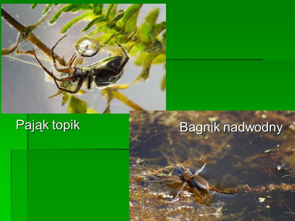 Strefę szuwarów zamieszkują gatunki związane z brzegami zbiorników np.