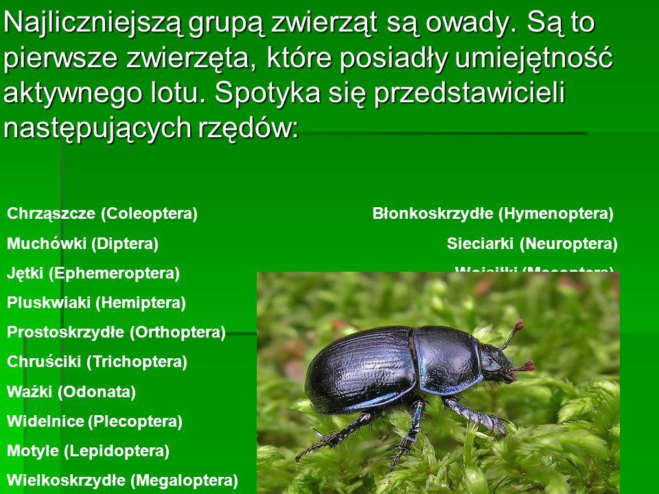 Najliczniejszą grupą zwierząt są owady. Są to pierwsze zwierzęta, które posiadły umiejętność aktywnego lotu. Spotyka się przedstawicieli następujących