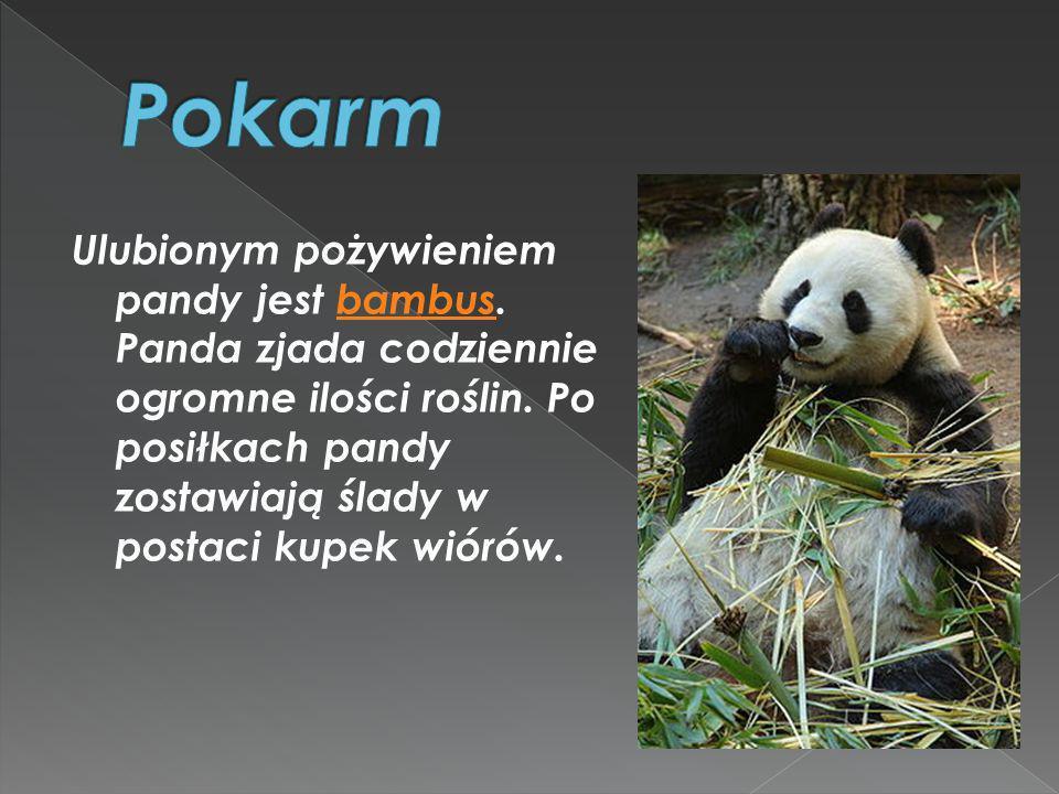 Ulubionym pożywieniem pandy jest bambus. Panda zjada codziennie ogromne ilości roślin. Po posiłkach pandy zostawiają ślady w postaci kupek wiórów.bamb