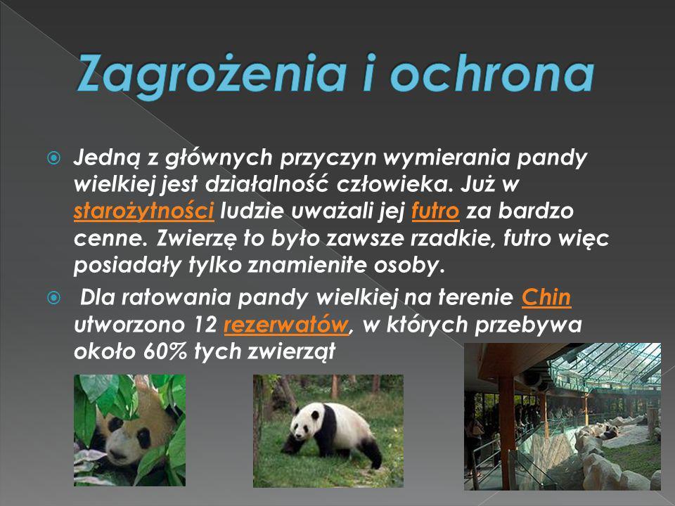 Jedną z głównych przyczyn wymierania pandy wielkiej jest działalność człowieka. Już w starożytności ludzie uważali jej futro za bardzo cenne. Zwierzę