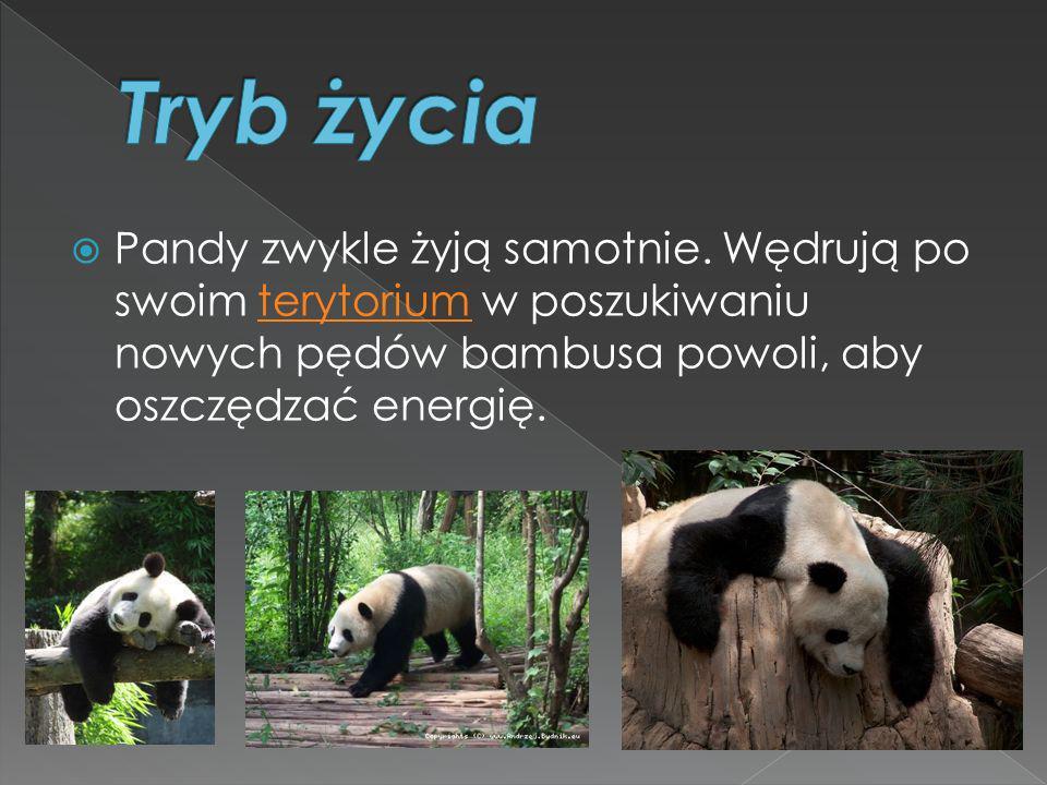 Pandy zwykle żyją samotnie. Wędrują po swoim terytorium w poszukiwaniu nowych pędów bambusa powoli, aby oszczędzać energię.terytorium