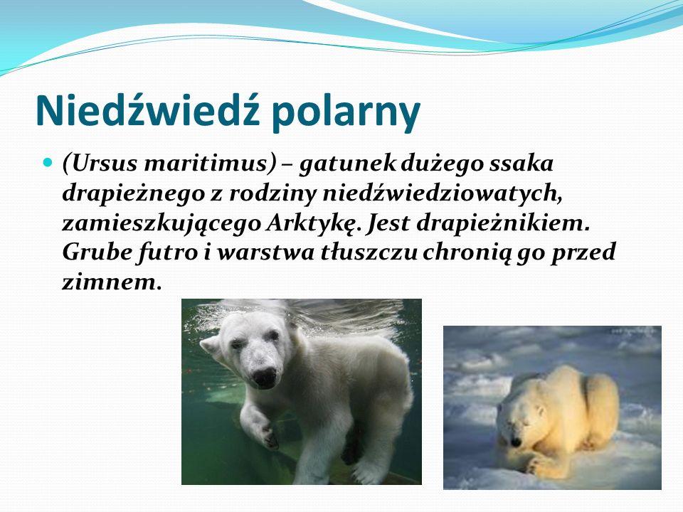 Niedźwiedź polarny (Ursus maritimus) – gatunek dużego ssaka drapieżnego z rodziny niedźwiedziowatych, zamieszkującego Arktykę. Jest drapieżnikiem. Gru