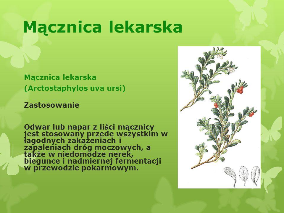 Majeranek ogrodowy (Majorana hortensis) Zastosowanie: -stosuje się w postaci naparu w nieżytach żołądka i jelit, przy wzdęciach, kolce jelitowej i w zaburzeniach trawiennych; -maści majerankowej używa się przy katarze i schorzeniach błony śluzowej.