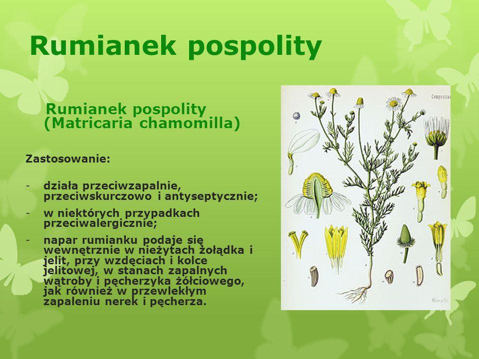 Rozmaryn lekarski (Rosmarinus officinalis) Zastosowanie: -napar z liści i kwiatu rozmarynu stosowany jest wewnętrznie w skurczach jelit, przewodów żółciowych i moczowych, w zaburzeniach krążenia obwodowego, głównie u osób starszych, łącznie ze zmianami starczymi serca; -napar używa się także pomocniczo przy kamicy żółciowej; -pobudza apetyt i reguluje trawienie.