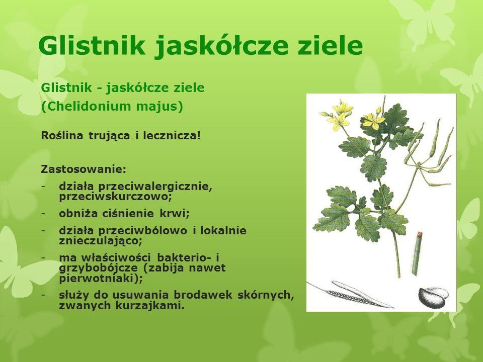 Glistnik jaskółcze ziele Glistnik - jaskółcze ziele (Chelidonium majus) Roślina trująca i lecznicza.