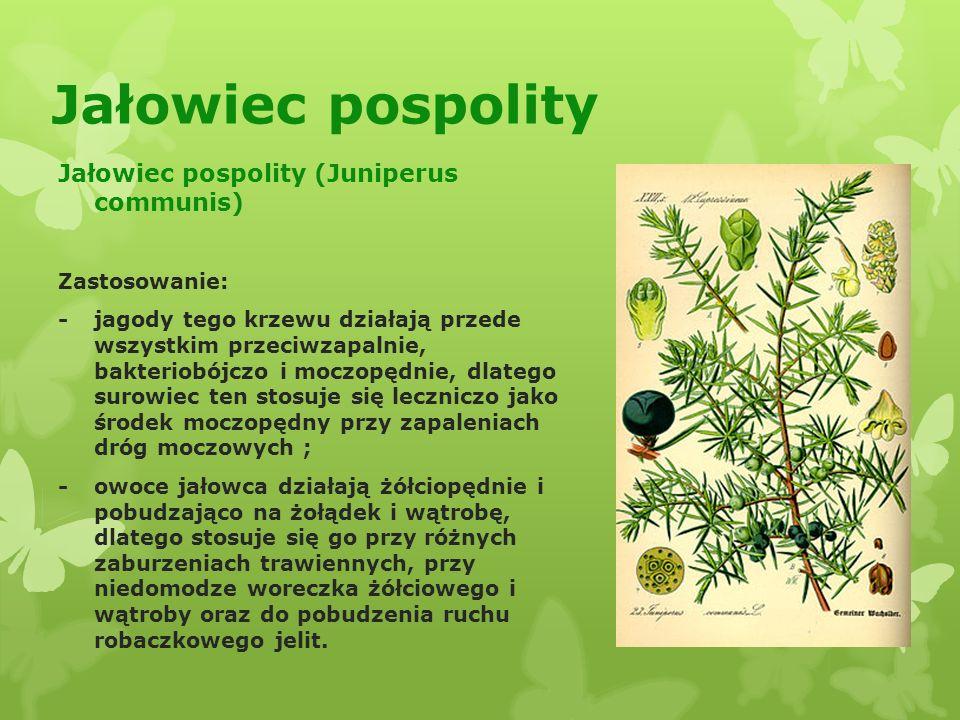 Jałowiec pospolity Jałowiec pospolity (Juniperus communis) Zastosowanie: - jagody tego krzewu działają przede wszystkim przeciwzapalnie, bakteriobójczo i moczopędnie, dlatego surowiec ten stosuje się leczniczo jako środek moczopędny przy zapaleniach dróg moczowych ; - owoce jałowca działają żółciopędnie i pobudzająco na żołądek i wątrobę, dlatego stosuje się go przy różnych zaburzeniach trawiennych, przy niedomodze woreczka żółciowego i wątroby oraz do pobudzenia ruchu robaczkowego jelit.