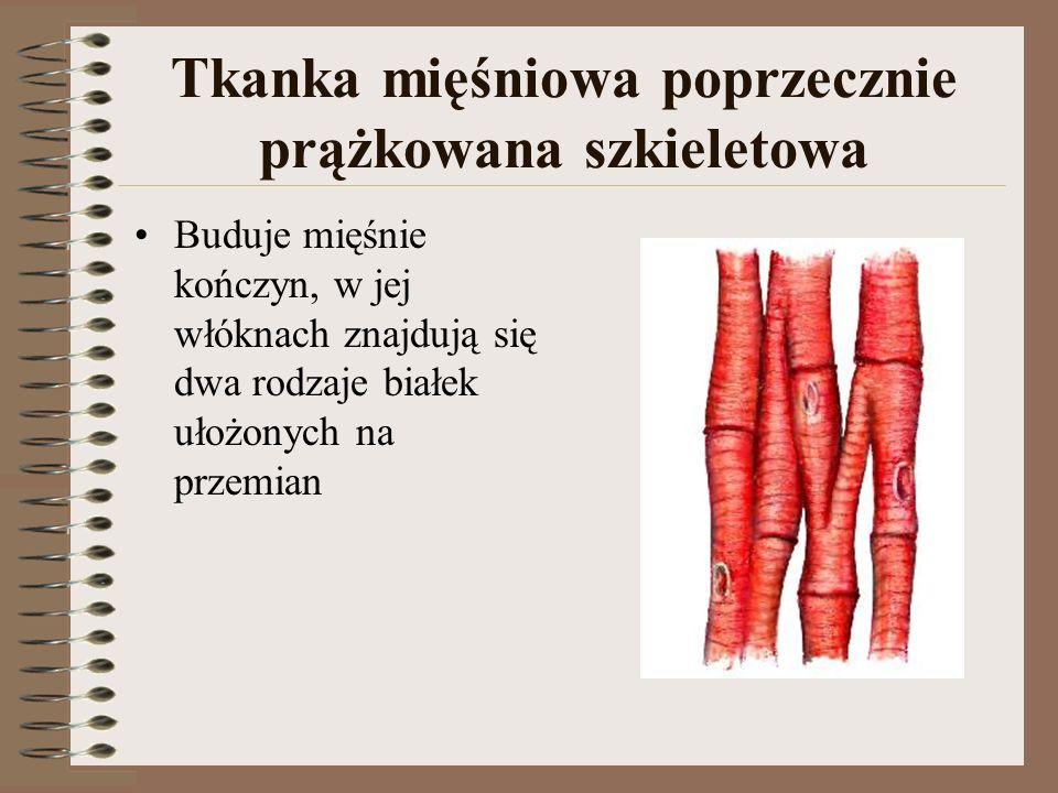 Tkanka mięśniowa poprzecznie prążkowana szkieletowa Buduje mięśnie kończyn, w jej włóknach znajdują się dwa rodzaje białek ułożonych na przemian