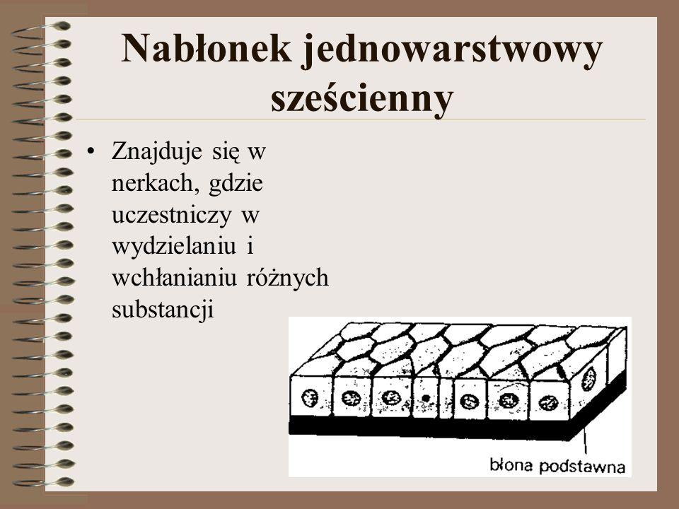 Nabłonek jednowarstwowy sześcienny Znajduje się w nerkach, gdzie uczestniczy w wydzielaniu i wchłanianiu różnych substancji