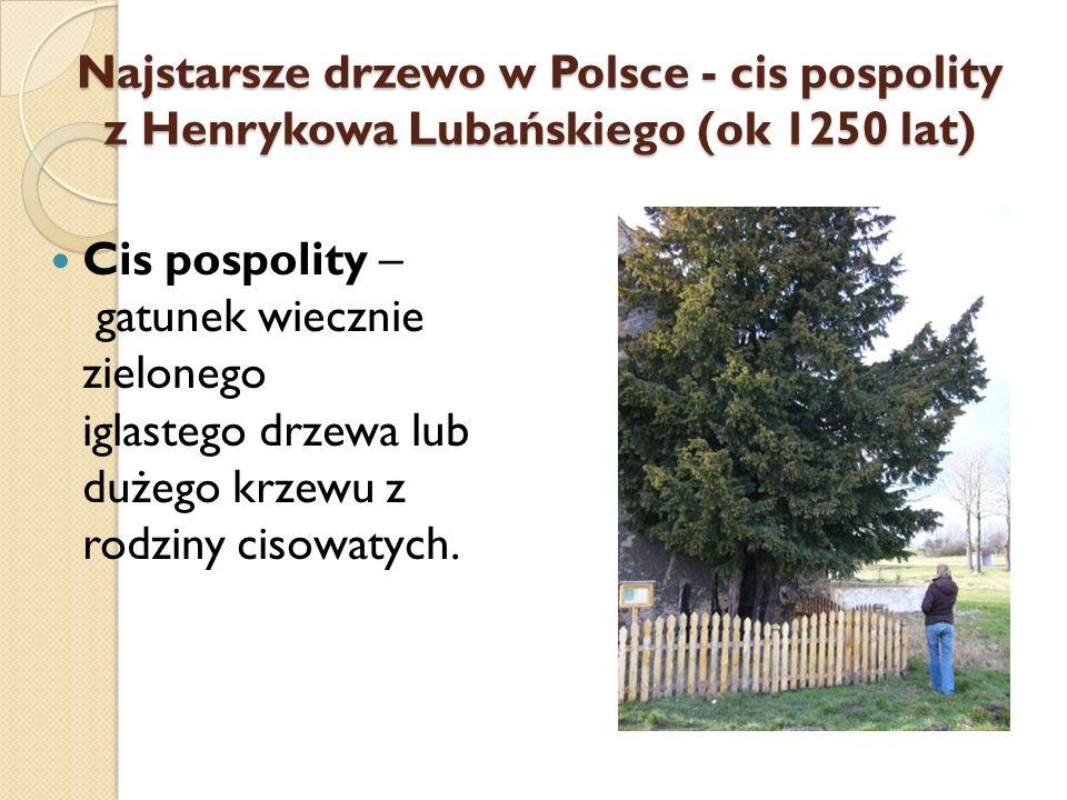 Najstarsze drzewo w Polsce - cis pospolity z Henrykowa Lubańskiego (ok 1250 lat) Cis pospolity – gatunek wiecznie zielonego iglastego drzewa lub dużeg