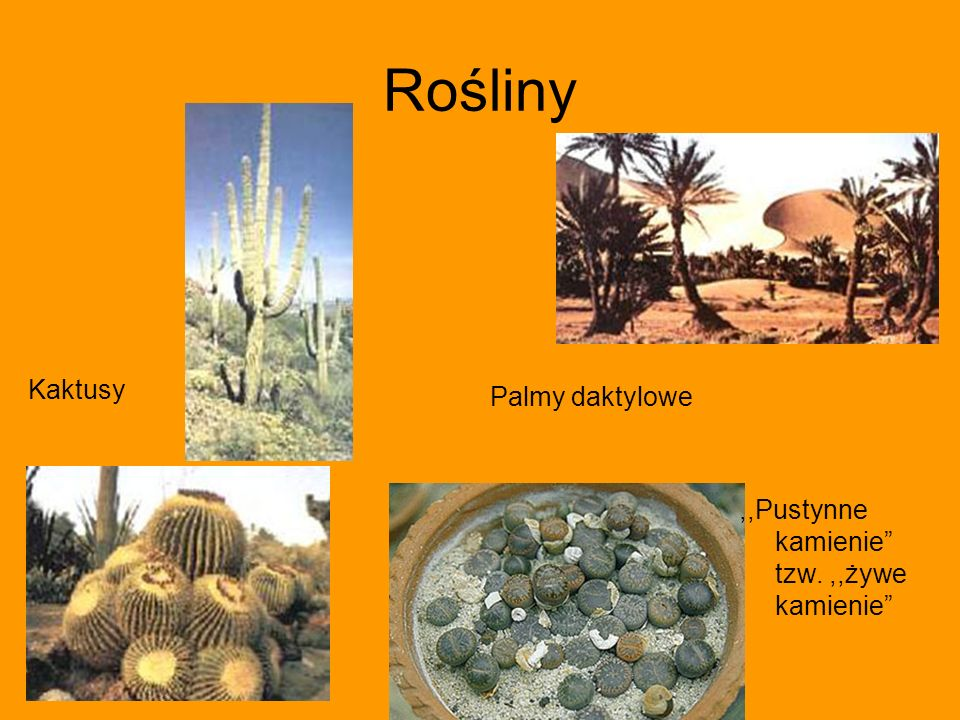 Rośliny Kaktusy Palmy daktylowe,,Pustynne kamienie tzw.,,żywe kamienie