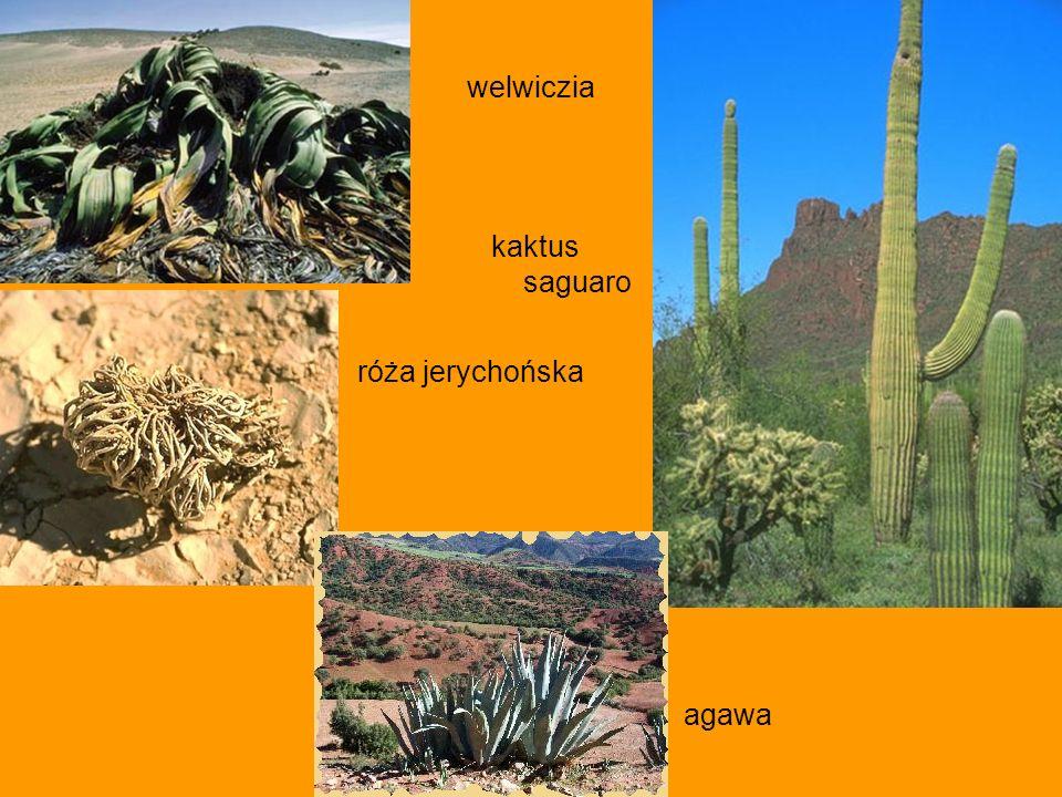 welwiczia kaktus saguaro róża jerychońska agawa