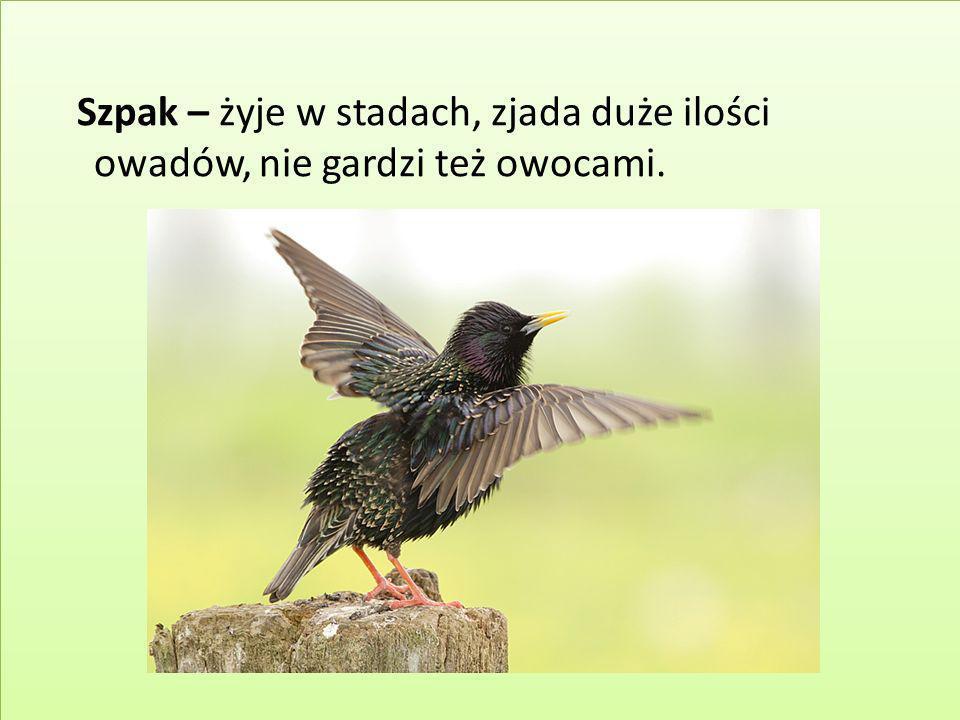 Szpak – żyje w stadach, zjada duże ilości owadów, nie gardzi też owocami.