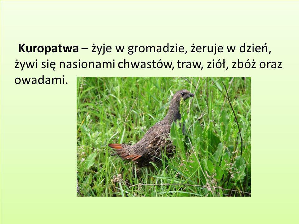 Kuropatwa – żyje w gromadzie, żeruje w dzień, żywi się nasionami chwastów, traw, ziół, zbóż oraz owadami.