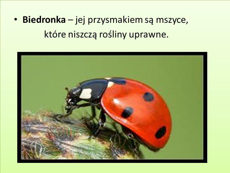 Biedronka – jej przysmakiem są mszyce, które niszczą rośliny uprawne.