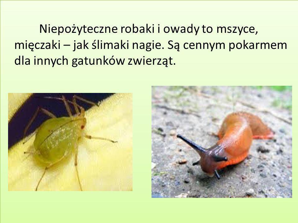 Niepożyteczne robaki i owady to mszyce, mięczaki – jak ślimaki nagie. Są cennym pokarmem dla innych gatunków zwierząt.