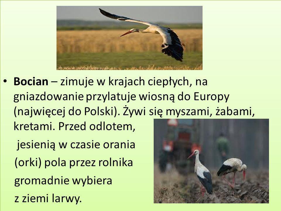 Bocian – zimuje w krajach ciepłych, na gniazdowanie przylatuje wiosną do Europy (najwięcej do Polski). Żywi się myszami, żabami, kretami. Przed odlote