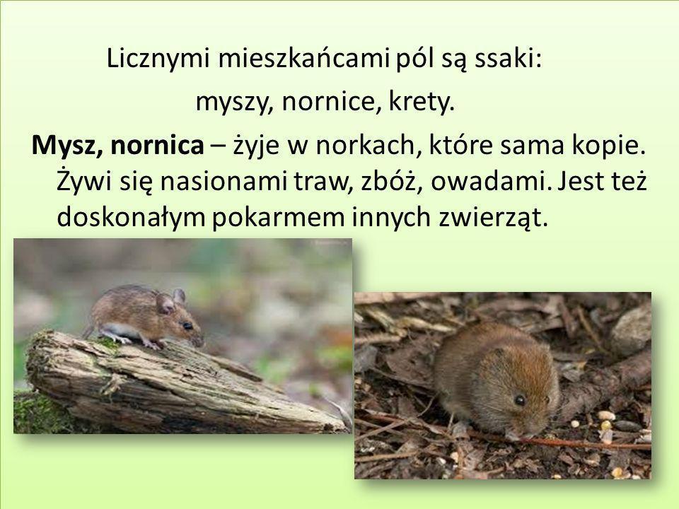 Licznymi mieszkańcami pól są ssaki: myszy, nornice, krety. Mysz, nornica – żyje w norkach, które sama kopie. Żywi się nasionami traw, zbóż, owadami. J