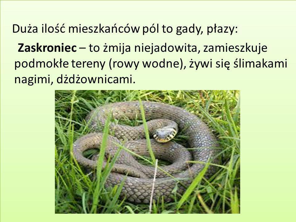 Duża ilość mieszkańców pól to gady, płazy: Zaskroniec – to żmija niejadowita, zamieszkuje podmokłe tereny (rowy wodne), żywi się ślimakami nagimi, dżd