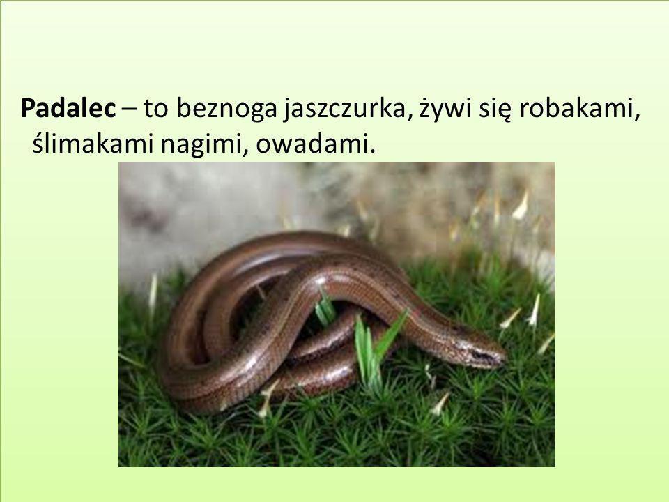 Padalec – to beznoga jaszczurka, żywi się robakami, ślimakami nagimi, owadami.