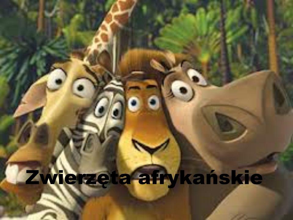 Do zwierząt afrykańskich zaliczamy: Żyrafa Lew Słoń Gepard Zebra Struś Hieny Hipopotam Guziec Nosorożec Antylopa gnu i wiele innych