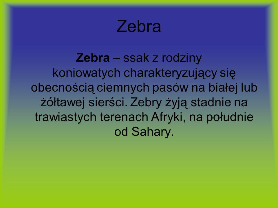 Zebra Zebra – ssak z rodziny koniowatych charakteryzujący się obecnością ciemnych pasów na białej lub żółtawej sierści. Zebry żyją stadnie na trawiast