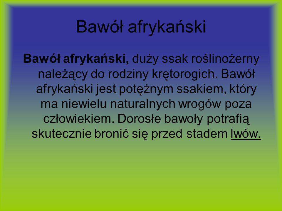 Bawół afrykański Bawół afrykański, duży ssak roślinożerny należący do rodziny krętorogich. Bawół afrykański jest potężnym ssakiem, który ma niewielu n