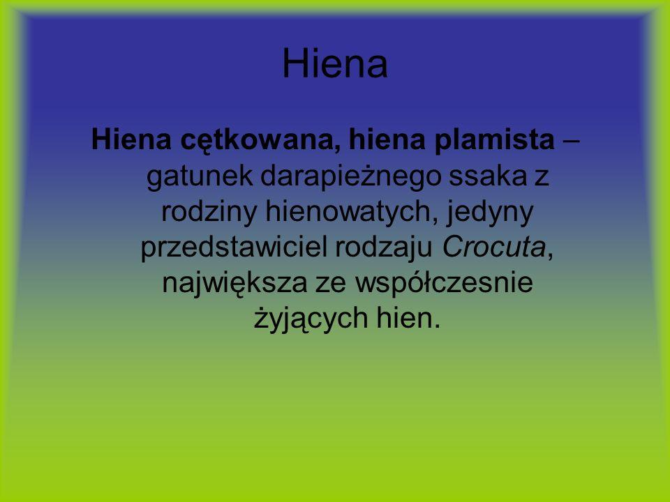 Hiena Hiena cętkowana, hiena plamista – gatunek darapieżnego ssaka z rodziny hienowatych, jedyny przedstawiciel rodzaju Crocuta, największa ze współcz