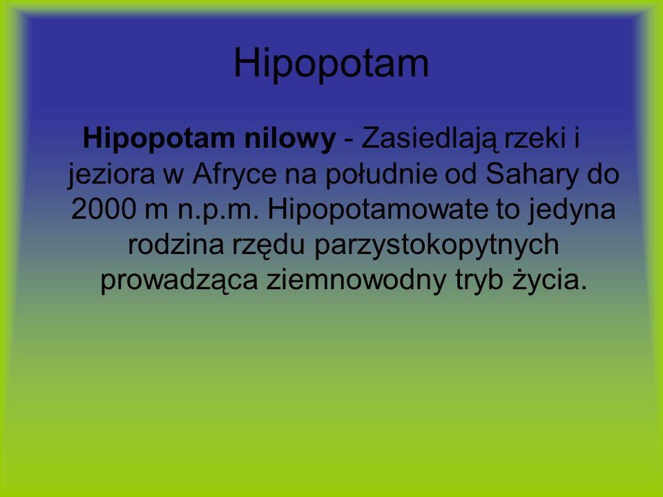 Hipopotam Hipopotam nilowy - Zasiedlają rzeki i jeziora w Afryce na południe od Sahary do 2000 m n.p.m. Hipopotamowate to jedyna rodzina rzędu parzyst