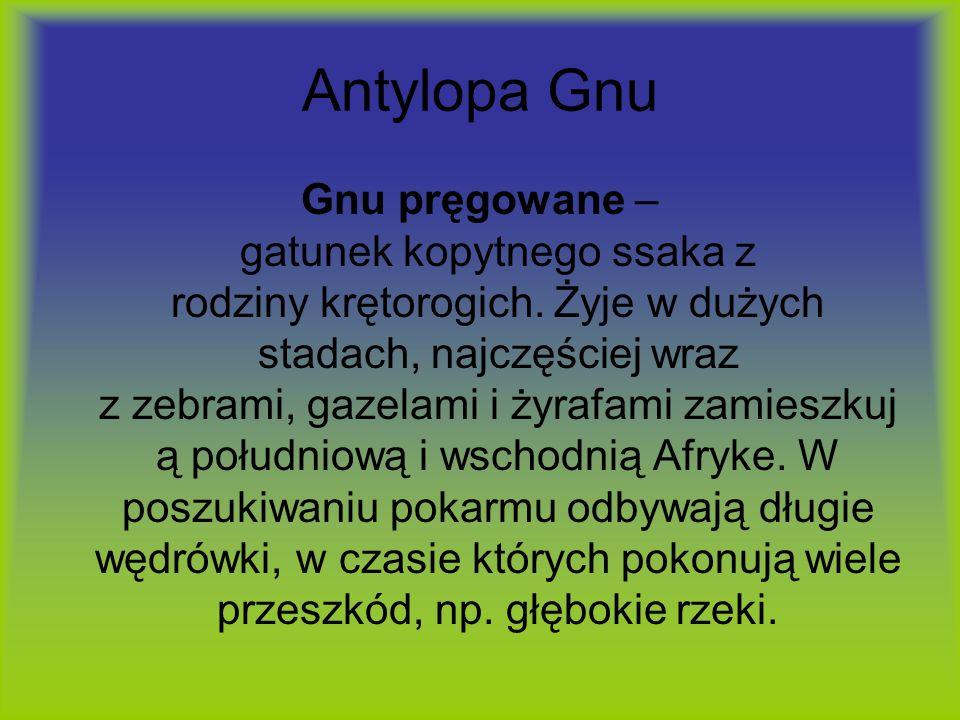 Antylopa Gnu Gnu pręgowane – gatunek kopytnego ssaka z rodziny krętorogich. Żyje w dużych stadach, najczęściej wraz z zebrami, gazelami i żyrafami zam