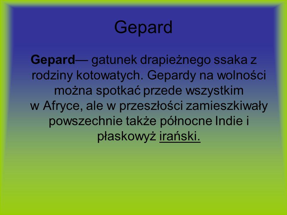 Gepard Gepard gatunek drapieżnego ssaka z rodziny kotowatych. Gepardy na wolności można spotkać przede wszystkim w Afryce, ale w przeszłości zamieszki