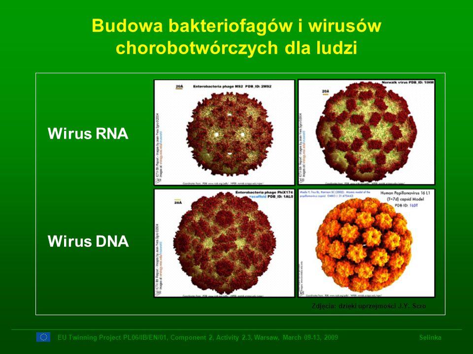 Budowa bakteriofagów i wirusów chorobotwórczych dla ludzi Zdjęcia: dzięki uprzejmości J.Y. Scro Wirus DNA Wirus RNA EU Twinning Project PL06/IB/EN/01,