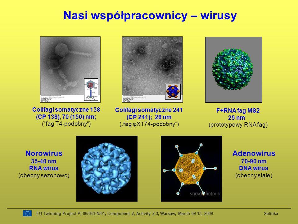 Colifagi somatyczne 138 (CP 138); 70 (150) nm; (fag T4-podobny) Colifagi somatyczne 241 (CP 241); 28 nm (fag φX174-podobny) F+RNA fag MS2 25 nm (prototypowy RNA fag) Nasi współpracownicy – wirusy Norowirus 35-40 nm RNA wirus (obecny sezonowo) Adenowirus 70-90 nm DNA wirus (obecny stale)