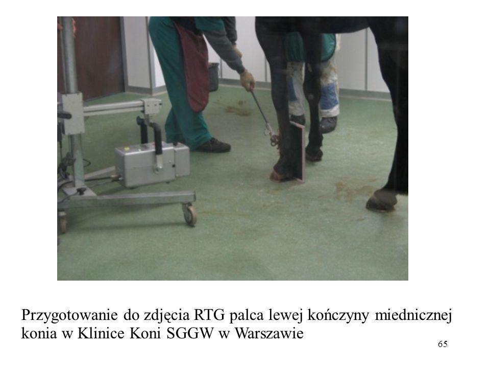 65 Przygotowanie do zdjęcia RTG palca lewej kończyny miednicznej konia w Klinice Koni SGGW w Warszawie