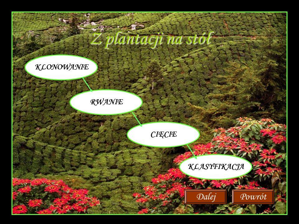 Z plantacji na stół KLONOWANIE RWANIE CIĘCIE KLASYFIKACJA PowrótDalej