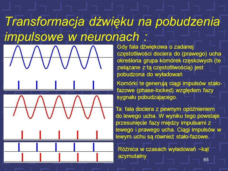 Gdy fala dźwiękowa o zadanej częstotliwości dociera do (prawego) ucha określona grupa komórek rzęskowych (te związane z tą częstotliwością) jest pobud